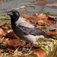 Серый ворон :: Александр Скамо