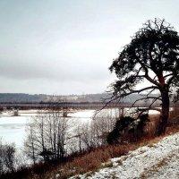 река Юг, причальная сосна... :: ВладиМер