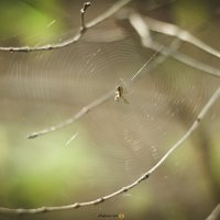 Spider :: Chapora Sun