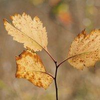 Осенние листья :: Swetlana V
