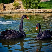 Лебеди :: Алёна Колесникова