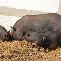 Порода свиней Вьетнамская :: Наталья Мельникова