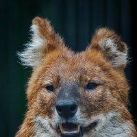 Красный волк :: Владимир Габов