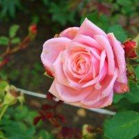 Роза :: Томчик Подольская