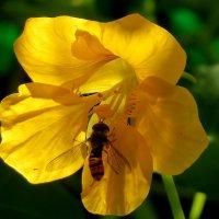 Над цветком пчела жужжит и нектар собрать спешит... :: Светлана