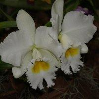 Орхидея. Каттлея :: Елена Павлова (Смолова)
