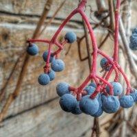 дикий виноград :: Julia C.