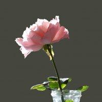 Последняя роза 2015 :: azer Zade