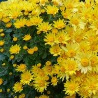 Хризантемы. :: Чария Зоя