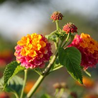 Цветы Антальи: лантана :: Елена Даньшина