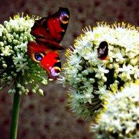 Бабочка :: Олеся Никонова