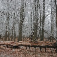 серебряный лес :: mihail