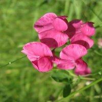 цветочек :: вероника гениатуллина