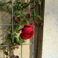 Розы ноября :: Ольга
