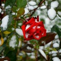 Королева цветов в снегу :: Милешкин Владимир Алексеевич