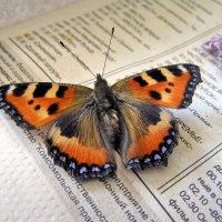 Бабочка крапивница :: Валентин Когун