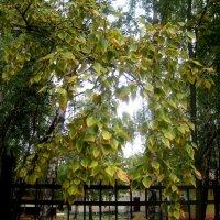 Этюд березовых листьев :: Елена Семигина