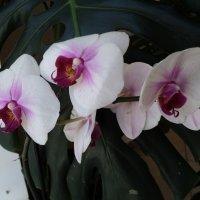 Орхидеи :: Ириша ****