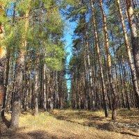 В сосновом лесу :: Константин Снежин