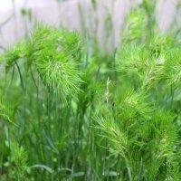 Травы-травы... :: Светлана
