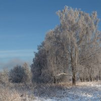 Береза после мороза :: Светлана