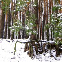Обнажённые корни сосен. :: Борис Митрохин