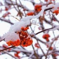 Красная из под снега :: Юрий Стародубцев