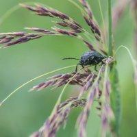Незнакомый жук :: михаил суворов