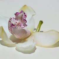 Орхидея цимбидиум :: Ирина Приходько