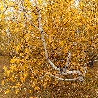 Осень в березовом лесу :: Сергей С