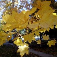 Кленовые листья :: Татьяна Пальчикова