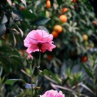 розы и апельсины :: Натали Акшинцева