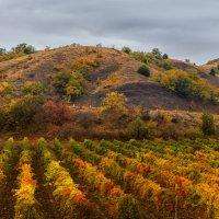 Крымские виноградники в октябре :: Владимир Колесников