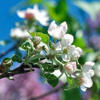 Один раз в год сады цветут! :: Наталья