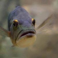 Океанариум. Портрет рыбы. :: Елена Ахромеева
