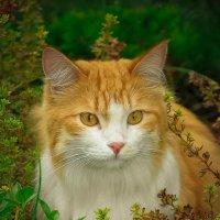 рыжий кот :: Валерия Бунак