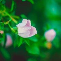 Цветок шиповника :: Ксения Куривчак