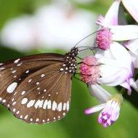 Бабочка Эвплоя белоточечная :: Антонина