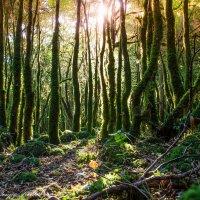 Самшитовый лес в Абхазии :: Сергей Кишкель