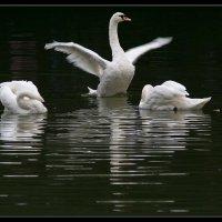 Танец маленьких лебедей :: Михаил Розенберг