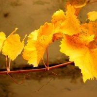 Осенняя виноградная веточка :: Светлана