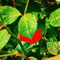 роза укрылася за листом :: Ольга Сафонова