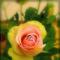 просто роза :: Natalia Mihailova