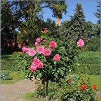 Кремлевские розы. :: Роланд Дубровский