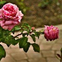Розы :: Светлана Винокурова