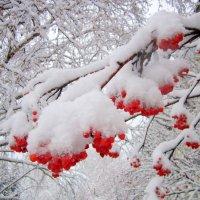 Рябиновые огоньки под пушистым снегом . :: Мила Бовкун