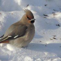 На белоснежном снегу :: Светлана Медведева