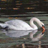 Лебедь Белая ... :: Vadim77755 Коркин