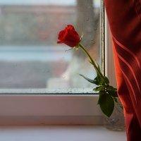 Розы :: Валерий Лазарев