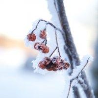 сладкая морозная рябина :: Мария Корнилова